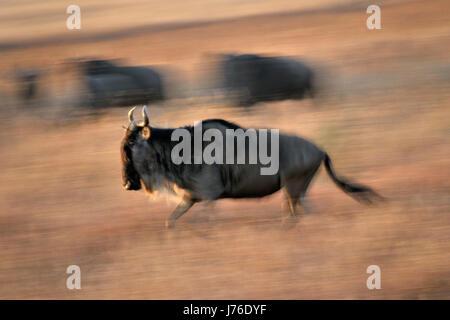 Wildebeest (Connochaetes taurinus) running during migration with motion blur, Serengeti National Park, Tanzania. - Stock Photo