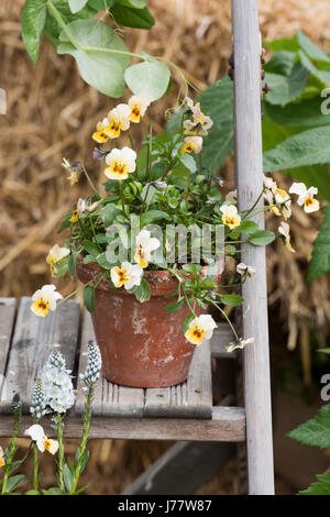 Violets in flowerpots on wooden steps. Part of a flower display at a flower show. UK - Stock Photo