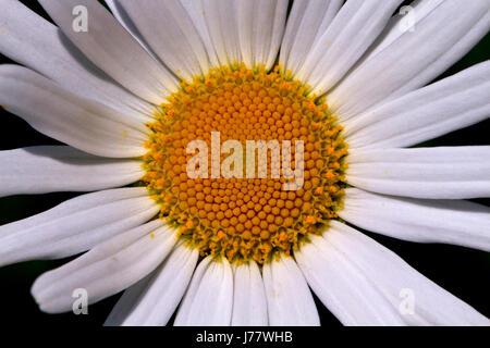 Oxeye Daisy   Leucanthemum - Stock Photo