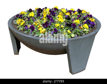 Pansies spring gentle yellow and blue flowers grow in an old metal  modern steel street flowerpot. Isolated with - Stock Photo