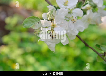 A bee is sitting on Apple tree Branch with white flowers in  summer - Stock Photo