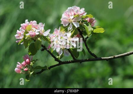 Pink, apple blossom, full frame - Stock Photo