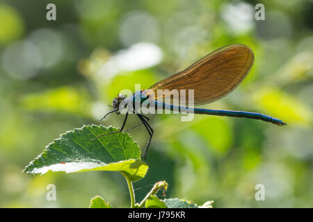 Close-up of female beautiful demoiselle (Calopteryx virgo) - Stock Photo