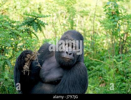 Mountain Gorilla Family in Virunga National Park, Democratic Republic of Congo - January 2017 - Stock Photo