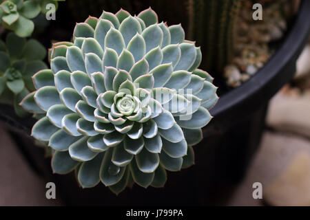 Close up of Echeveria succulent Stock Photo