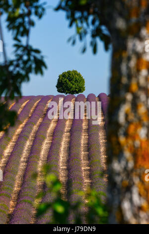 Tree in lavender field - Stock Photo
