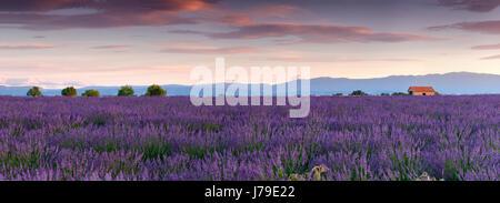 Lavender field, Provance - Stock Photo