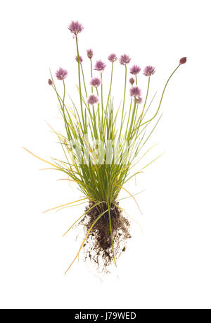 whole chives plant with roots on isolated white background - Stock Photo