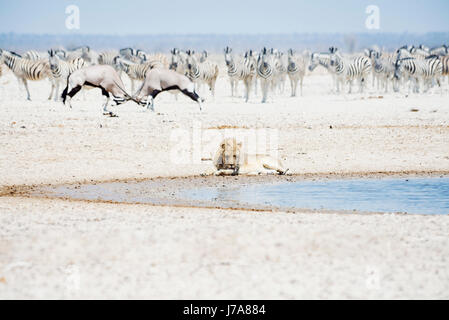 Namibia, Etosha National Park, lion resting at waterhole with herd of Zebras and Oryx in the background - Stock Photo