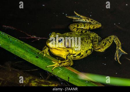 An invasive American Bullfrog at Beaver Lake in Stanley Park.  Vancouver, BC - Stock Photo