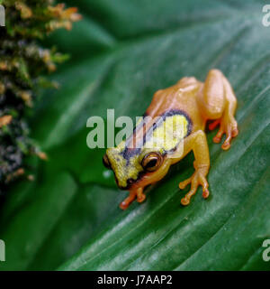 A Colombian Golden Poison Dart Frog. - Stock Photo