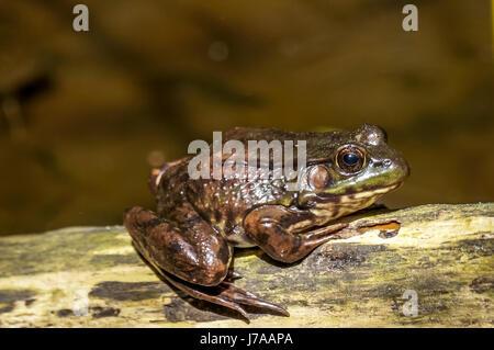 An invasive bullfrog at Stanley Park's Beaver Lake in Vancouver BC - Stock Photo