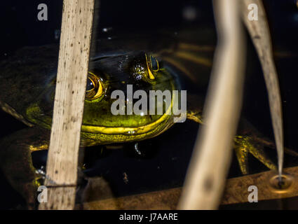 An American Bullfrog hiding in the reeds at Beaver Lake at Stanley Park - Stock Photo