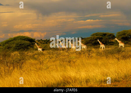 Stunning view of a Journey of Giraffes whilst on safari - Stock Photo