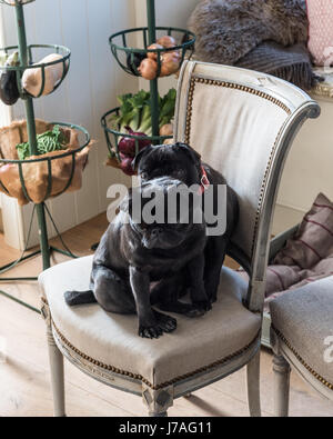 A pair of black pugs on a linen upholstered chair - Stock Photo