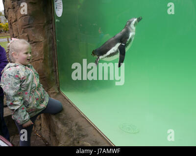 A young girl watches a Magellanic Penguin  swim in its enclosure at Blackpool Zoo, England - Stock Photo