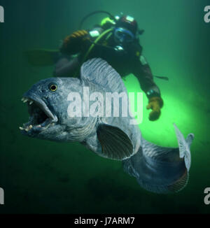 Atlantic wolffish, Anarhichas lupus. With diver.  France - Stock Photo