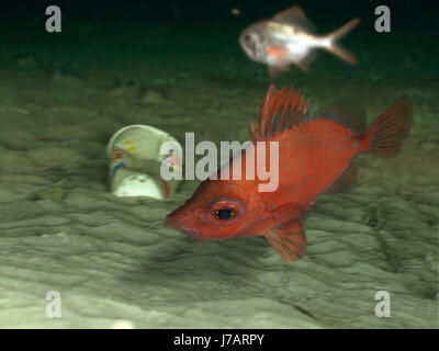 Boarfish, Capros aper with deep sea garbage. Portugal - Stock Photo