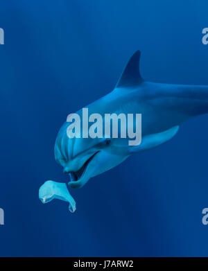 Bottlenose dolphin, Tursiops truncatus. Playing with plastic bag. Eating plastic bag. Azores, Portgal - Stock Photo