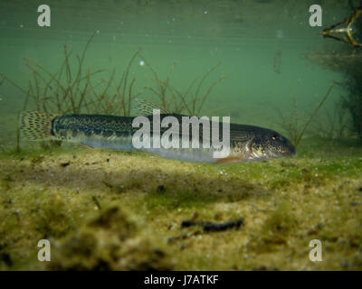 Northern Iberian spined-loach, Cobitis paludica. On river sand bottom.  Is one of three endemic Iberian loaches, - Stock Photo