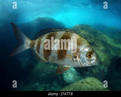 Zebra seabream; Diplodus cervinus. Lateral view of young animal.  Portugal. - Stock Photo