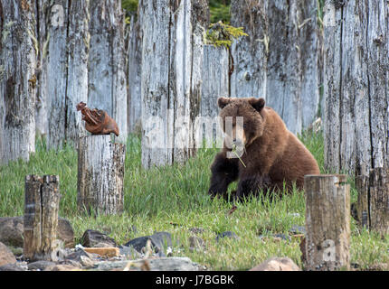 Grizzly Bear eating grass in Southeast Alaska - Stock Photo