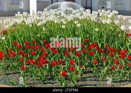 Tulips in Alexander Garden on background of fountain, Moscow, Russia - Stock Photo