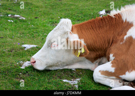 sleeping cow - Stock Photo