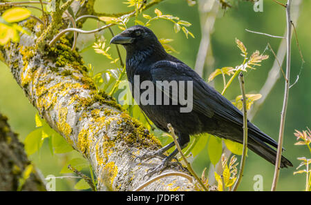 Carrion Crow (Corvus corone) perched on a branch of a tree in the UK. - Stock Photo