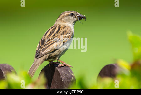 Adult female House Sparrow (Passer domesticus) perched on a branch eating an insect in early Summer, in West Sussex, - Stock Photo