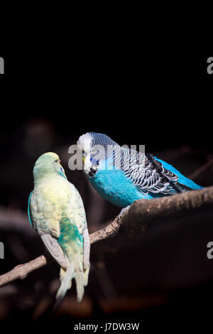 Two budgies on a branch - Stock Photo