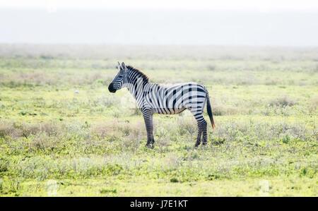 Burchel's Zebra (Equus quagga burchellii) on the Plains of the Serengeti - Stock Photo