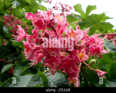 flower -  red horse chestnut, (Aesculus carnea) - Stock Photo