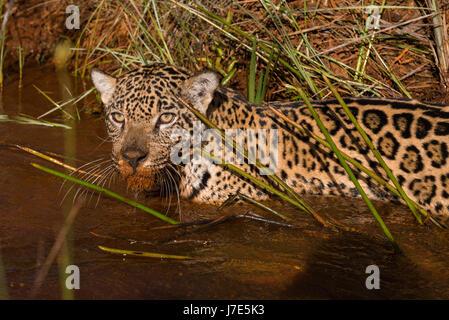 A Jaguar explores a water creek in the Brazilian Cerrado - Stock Photo