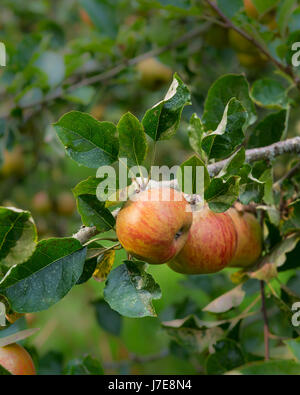 Apples growing on a tree - Stock Photo
