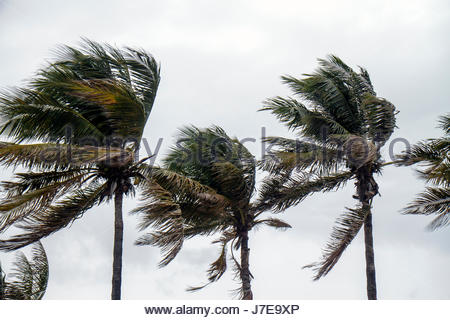 Miami Beach Florida palm trees windblown blowing in wind tropical storm hurricane high winds - Stock Photo