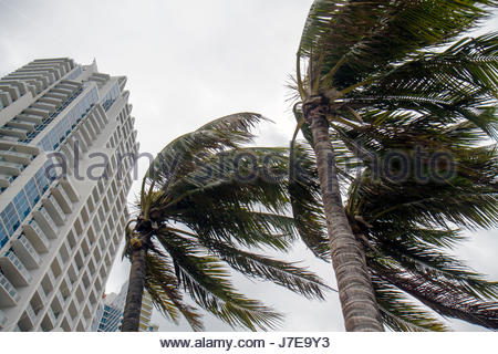 Miami Beach Florida South Pointe palm trees windblown blowing in wind tropical storm hurricane high winds Continuum - Stock Photo