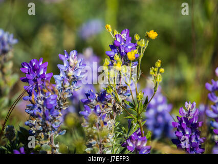 Alpine Flower Glacier National Park Montana USA Wild Flowers Flower - Stock Photo