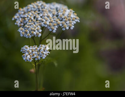 Alpine Flower Glacier National Park Montana USA - Stock Photo