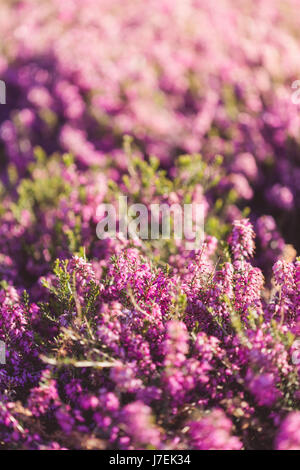 Heather field background, growing calluna vulgaris in spring garden - Stock Photo