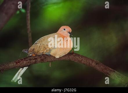 Laughing Dove, (Spilopelia senegalensis), Keoladeo Ghana National Park, Bharatpur, Rajasthan, India - Stock Photo