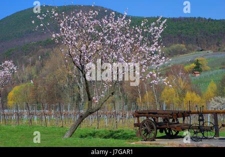 palatine mandelblte - Stock Photo