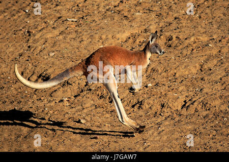Red kangaroo (Macropus rufus), adult male jumping, Sturt National Park, New South Wales, Australia - Stock Photo
