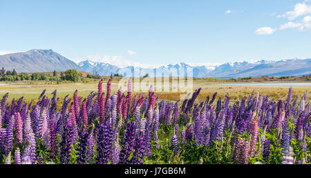 Purple large-leaved lupins (Lupinus polyphyllus), Lake Tekapo in front of Southern Alps, Canterbury, South Island, - Stock Photo