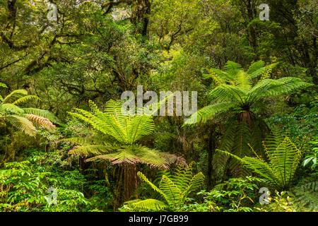 New Zealand rainforest,tree ferns (Cyatheales), Fiordland National Park, Southland, New Zealand - Stock Photo