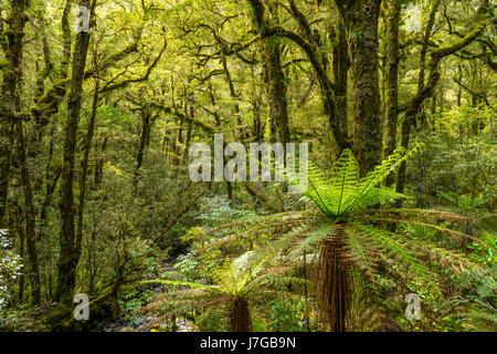 New Zealand rainforest, tree ferns (Cyatheales), Fiordland National Park, Southland, New Zealand - Stock Photo