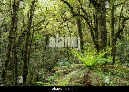 New Zealand rainforest, tree ferns (Cyatheales) and moss-grown trees, Fiordland National Park, Southland, New Zealand - Stock Photo