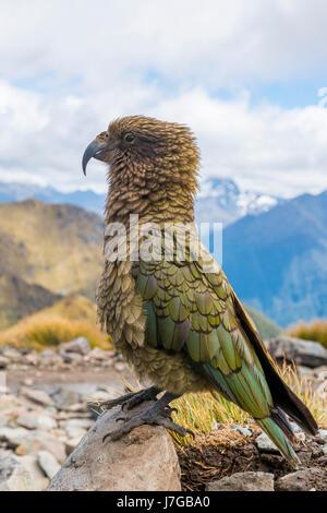 Mountain parrot, Kea (Nestor notabilis) in the mountains, Kepler Track, Fiordland National Park, South Island, New - Stock Photo
