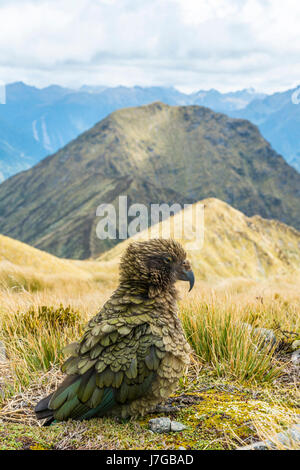 Mountain parrot, Kea (Nestor notabilis) in the mountains, Kepler Track, Fiordland National Park, South Island, New - Stock Photo