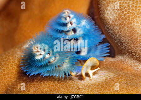 Christmas tree worm (Spirobranchus giganteus), blue, on stony coral, Papua Barat, Pacific, West New Guinea, - Stock Photo